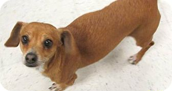 Dachshund/Chihuahua Mix Dog for adoption in Fort Collins, Colorado - Lady