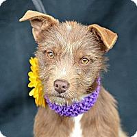 Adopt A Pet :: Keebler - Plano, TX