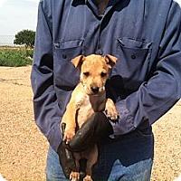 Adopt A Pet :: Tater Tot - Childress, TX