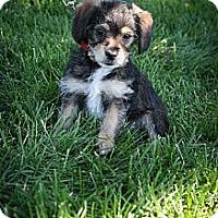 Adopt A Pet :: Bessie - Broomfield, CO