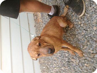 Shar Pei/Labrador Retriever Mix Dog for adoption in Santee, California - Sugar