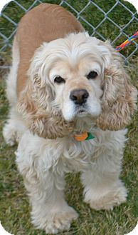 Cocker Spaniel Mix Dog for adoption in Fruit Heights, Utah - Lady