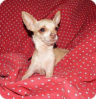 Chihuahua Dog for adoption in Old Fort, North Carolina - Roxy