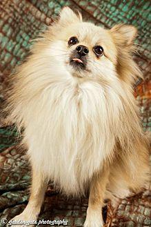 Pomeranian Dog for adoption in Elizabethtown, Pennsylvania - Simba