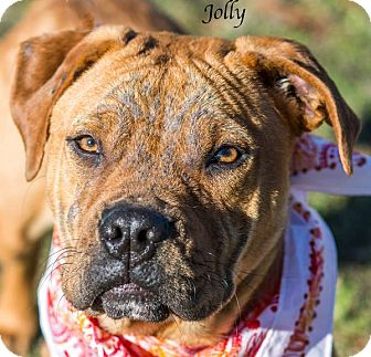 Shar Pei Mix Dog for adoption in Lancaster, Texas - Jolly - URGENT