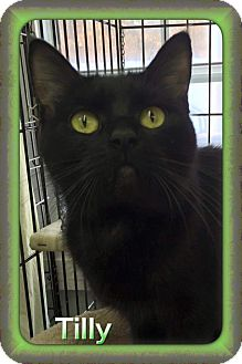 Domestic Shorthair Cat for adoption in Atco, New Jersey - Tilly