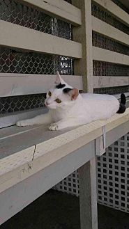 Domestic Shorthair Cat for adoption in Elk Grove, California - Smudge