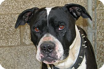 American Pit Bull Terrier Mix Dog for adoption in Ruidoso, New Mexico - Frankenstein