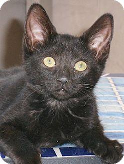 Domestic Shorthair Kitten for adoption in North Highlands, California - Renessa