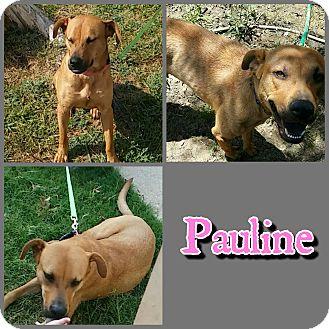 Black Mouth Cur/Labrador Retriever Mix Dog for adoption in Arlington, Texas - Pauline