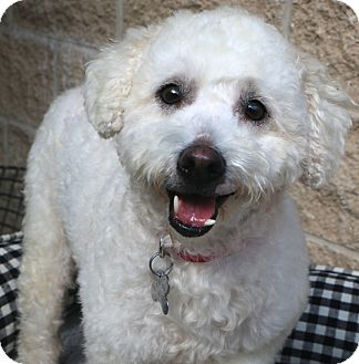 Poodle (Miniature) Mix Dog for adoption in Allentown, Pennsylvania - Sweet Spangles