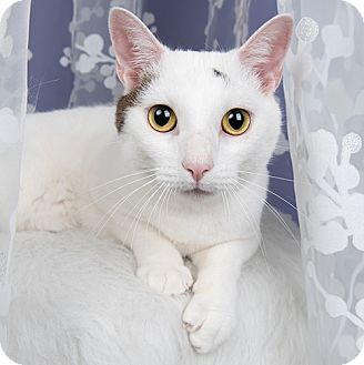 Domestic Shorthair Cat for adoption in Wilmington, Delaware - Ghost