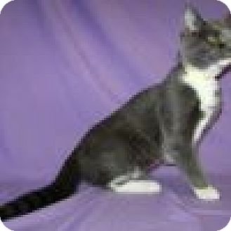 Domestic Shorthair Cat for adoption in Powell, Ohio - Emi