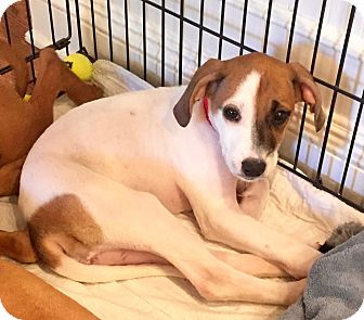 Coonhound/Rhodesian Ridgeback Mix Puppy for adoption in Bedford Hills, New York - Kari