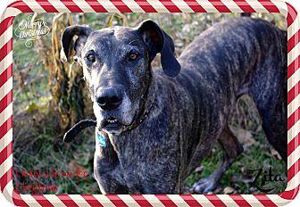 Great Dane Dog for adoption in Maryville, Illinois - Zita