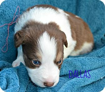 Collie/Labrador Retriever Mix Puppy for adoption in Yreka, California - Dallas