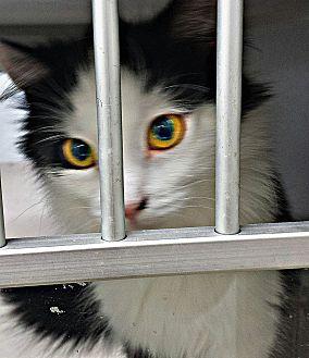 Domestic Longhair Cat for adoption in tama, Iowa - Marie