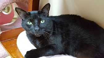 Domestic Shorthair Cat for adoption in Pompano Beach, Florida - Blackie