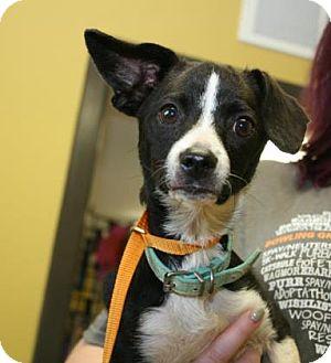Rat Terrier Mix Dog for adoption in Philadelphia, Pennsylvania - Trevor