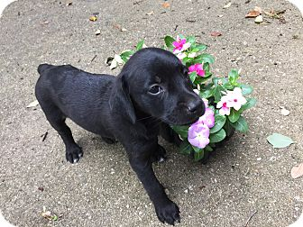 Whippet/Labrador Retriever Mix Puppy for adoption in Boerne, Texas - Nessa
