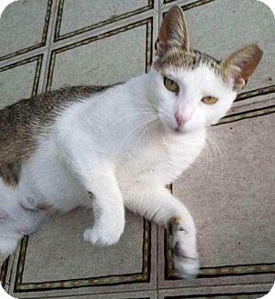 Domestic Shorthair Cat for adoption in Brooklyn, New York - Bonnie