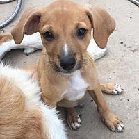 Adopt A Pet :: Jedi - Buffalo, NY