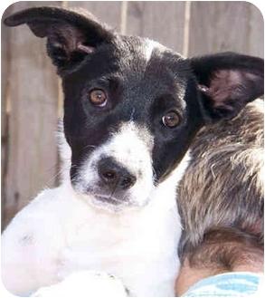 Australian Shepherd/German Shepherd Dog Mix Puppy for adoption in El Segundo, California - Gwennie