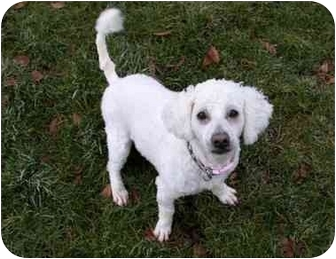 Poodle (Miniature) Mix Dog for adoption in Phoenix, Oregon - Curly