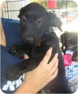 Labrador Retriever/Airedale Terrier Mix Puppy for adoption in Richmond, Virginia - Milo