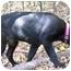 Photo 3 - Labrador Retriever/Golden Retriever Mix Puppy for adoption in Osseo, Minnesota - Pepper