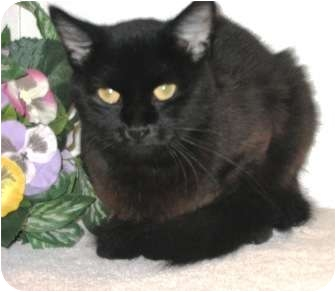 Domestic Shorthair Cat for adoption in Columbus, Nebraska - Bubba