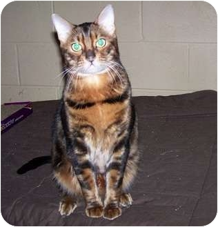 Bengal Cat for adoption in Antioch, Illinois - Lynx and Spot