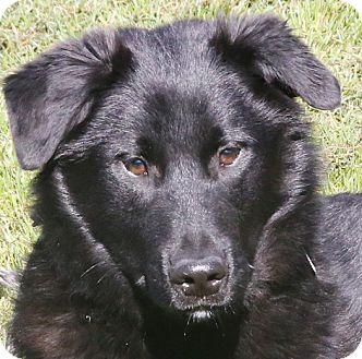 Labrador Retriever/Newfoundland Mix Dog for adoption in Sacramento, California - Spenser!