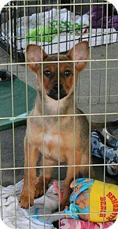 Shiba Inu/Shepherd (Unknown Type) Mix Puppy for adoption in Hammonton, New Jersey - cadi