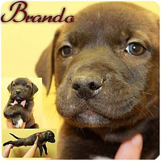 Rhodesian Ridgeback/Staffordshire Bull Terrier Mix Puppy for adoption in Garden City, Michigan - Brando