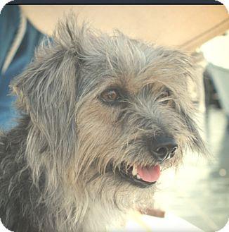 Tibetan Terrier/Terrier (Unknown Type, Small) Mix Dog for adoption in Miami, Florida - Scotty