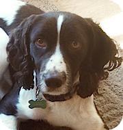 English Springer Spaniel Dog for adoption in Minneapolis, Minnesota - Gem