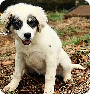 Newfoundland Mix Puppy for adoption in Washington, D.C. - Adelaide