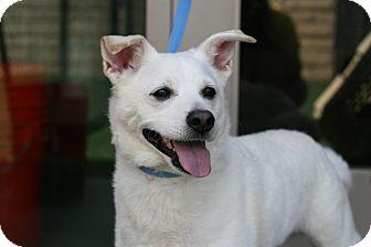 American Eskimo Dog/Shiba Inu Mix Dog for adoption in Coronado, California - Loki