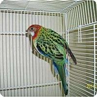 Adopt A Pet :: ROSIE - Mantua, OH