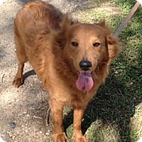 Adopt A Pet :: Lacey - Lockhart, TX