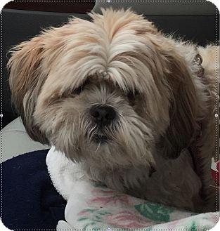 Shih Tzu Dog for adoption in New Albany, Ohio - Rocky