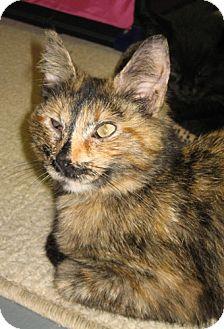 Domestic Shorthair Cat for adoption in Parkville, Missouri - Charlie