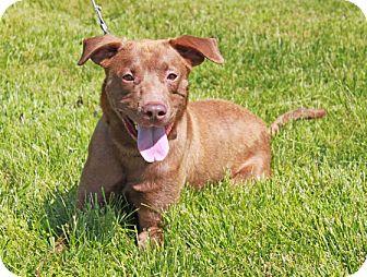 Labrador Retriever/Terrier (Unknown Type, Medium) Mix Dog for adoption in Staunton, Virginia - Harley