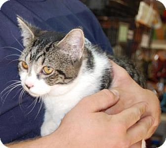 Domestic Shorthair Kitten for adoption in Brooklyn, New York - Vick