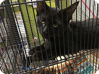 Domestic Shorthair Kitten for adoption in Clarksville, Tennessee - Caesar