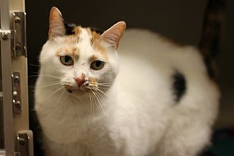 Domestic Shorthair Cat for adoption in Mebane, North Carolina - Skeeter