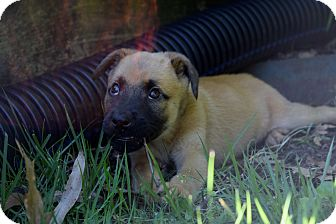 German Shepherd Dog/Labrador Retriever Mix Puppy for adoption in Knoxville, Tennessee - ANNA