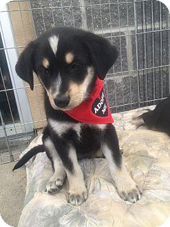 Border Collie Mix Puppy for adoption in Regina, Saskatchewan - Tara