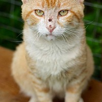 Domestic Shorthair Cat for adoption in San Antonio, Texas - Scout